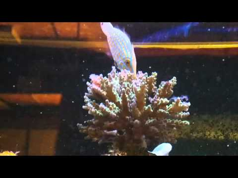 Trying To Train An Orange Spotted File Fish To Eat