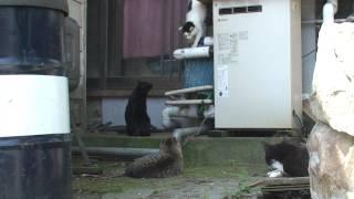 猫島・田代島にて。上から降りて来る猫を みんなで追いかけます。メス猫...