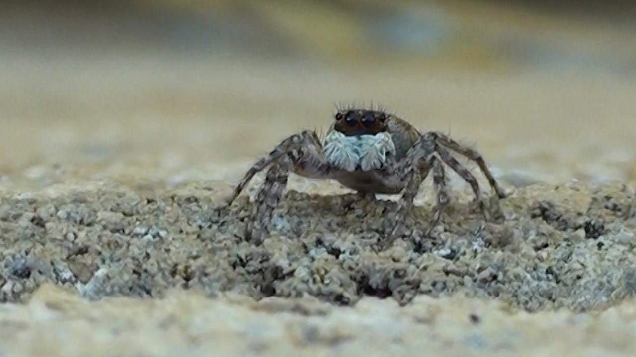 salticidae spanish jumping spider