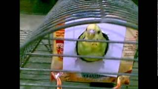 Budgie in home-made nest box