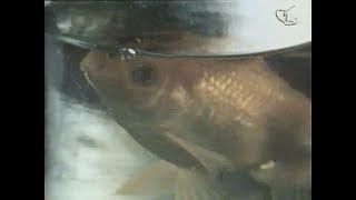 Золотые рыбки, 1981. Понедельник начинается в субботу, 1965.