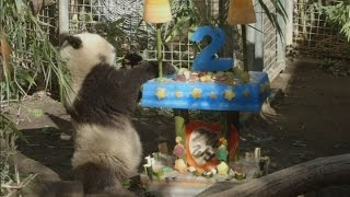 CUTE: Giant Panda Xiao Liwu turns two and celebrates with birthday party