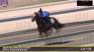 Lot 134 - 2YOs in Training Breezeup Thumbnail