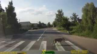 Животные на дорогах. Видео с регистратора.