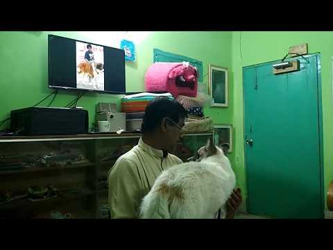 Spitz Dog @ Pet Doctor in Bangladesh @ Dr. Sagir's Pet Clinic 01912251312