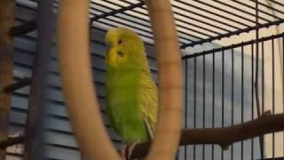 Говорящий попугай болтает и поет