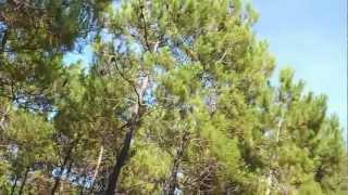 Les cigales en Charente-Maritime (17) - Côte Sauvage - Forêt de la Coubre