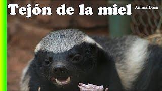 ESTE ES EL ANIMAL MÁS VALIENTE DEL MUNDO - Tejón Melero