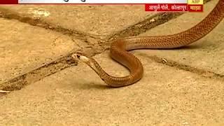 स्पेशल रिपोर्ट : कोल्हापूर : विषारी फुलामुळे गावात उंदीर, सापांचा सुळसुळाट