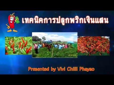 เทคนิคการปลูกพริกเงินแสน by Vivi Chilli Phayao (ใหม่)