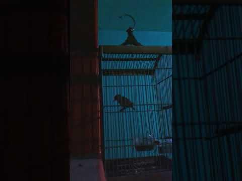 Burung tikusan gacor Mp3