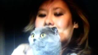 Как отличить Британскую кошку от Шотланской?