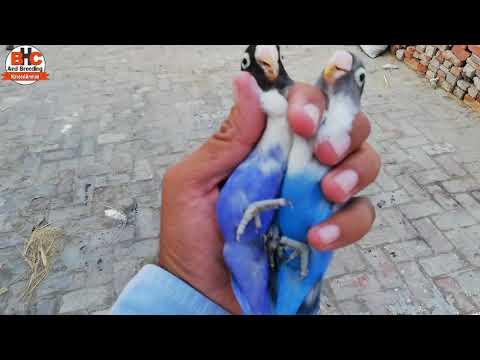 Lovebirds ki New Colony Season 2019 | Different Lovebirds Colors Aviary Breeding