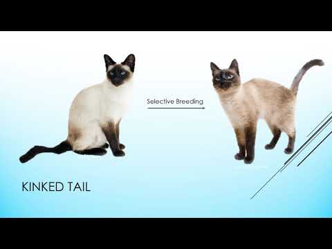 The Biology of Siamese Cats