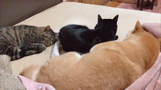 猫達に愛されすぎて寝る時ちょっと窮屈な柴犬 My dog is loved by cats