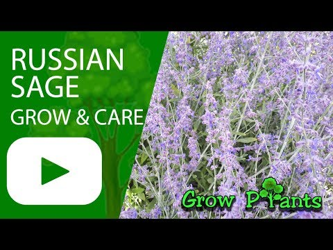 Russian sage - Grow and care
