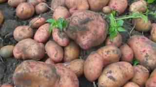 видео Картофель «Невский» описание сорта, фото, отзывы
