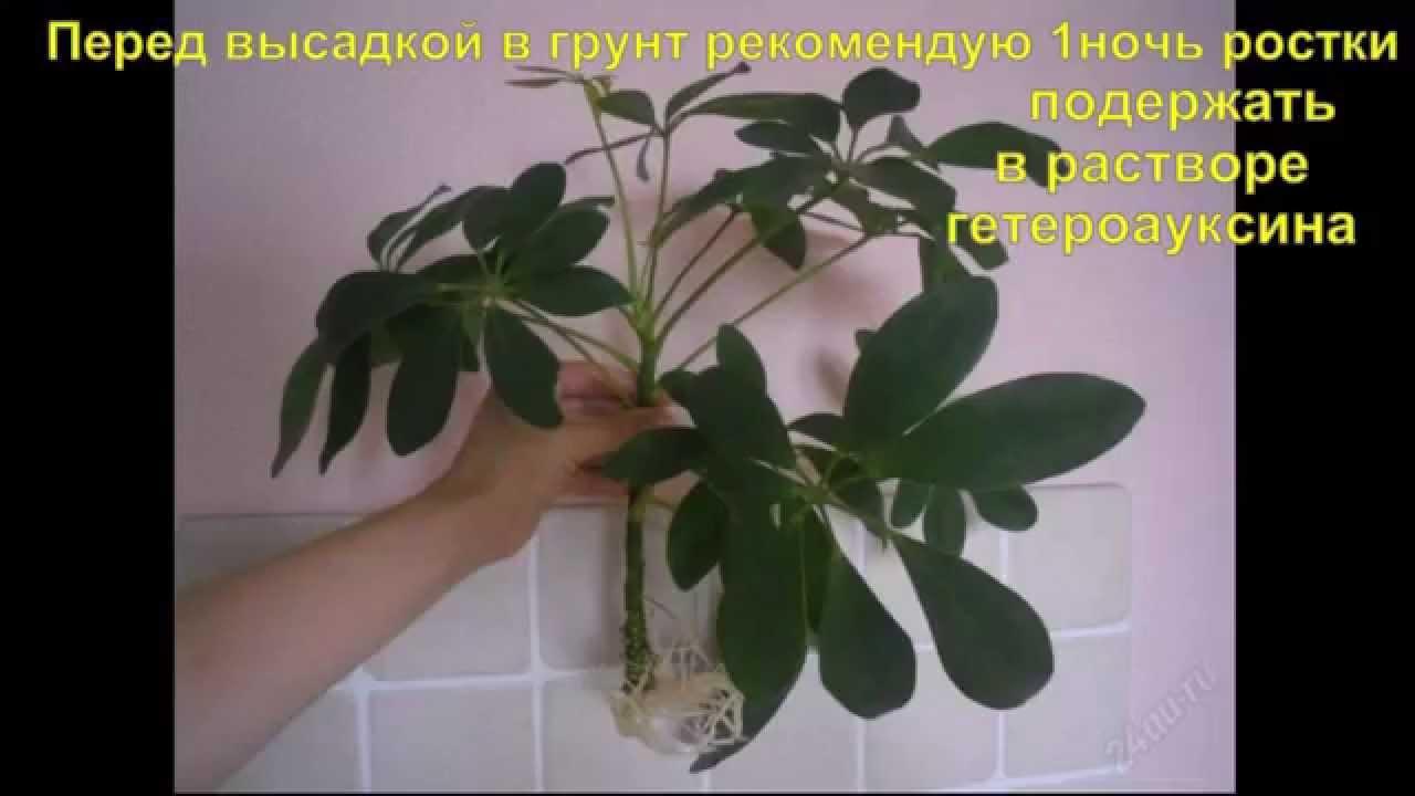 Цветок шеффлера размножение 86
