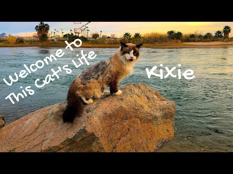 Welcome to This Cat's Life!  Ragdoll Siamese cat - A cat's perspective of life