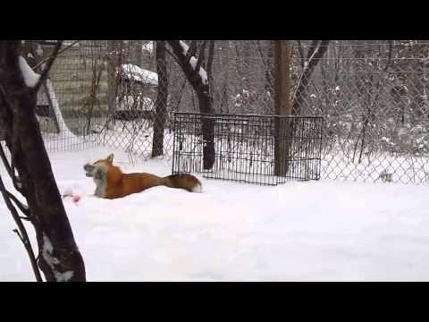 Fox Snow Go