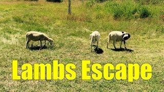 Lambs Escape