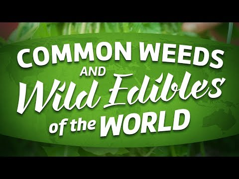 Common Weeds And Wild Edibles Of The World (full movie about foraging)