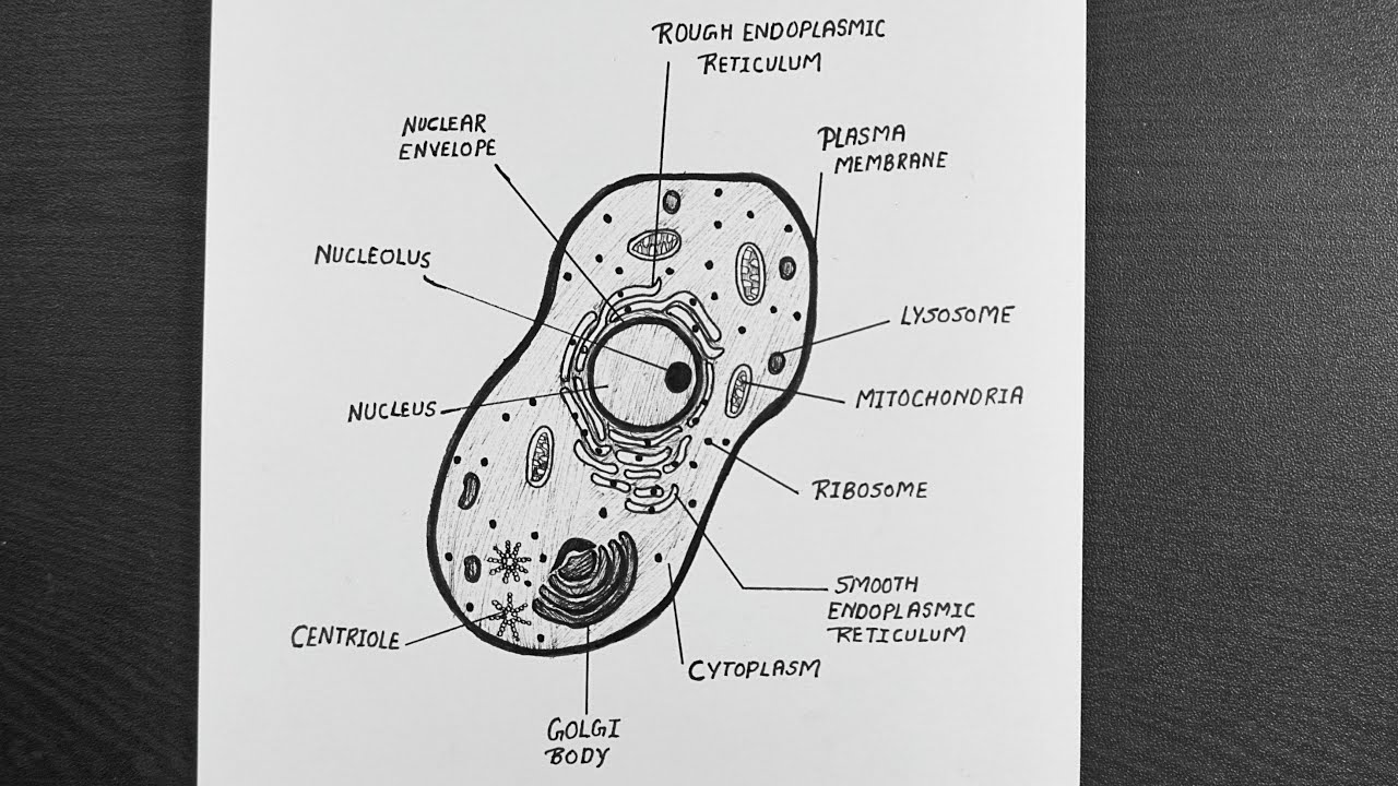 Diagram Of Animal Cell || How To Draw Animal Cell Step By ...