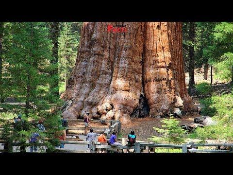 Вопрос: Какой высоты дерево Генерал Шерман?
