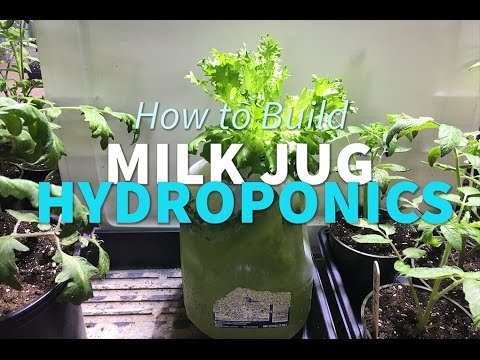 Milk Jug Hydroponics How To Grow Lettuce In A Milk Jug