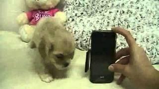 Amazing Tiny Cocker Spaniel Puppy Available!~