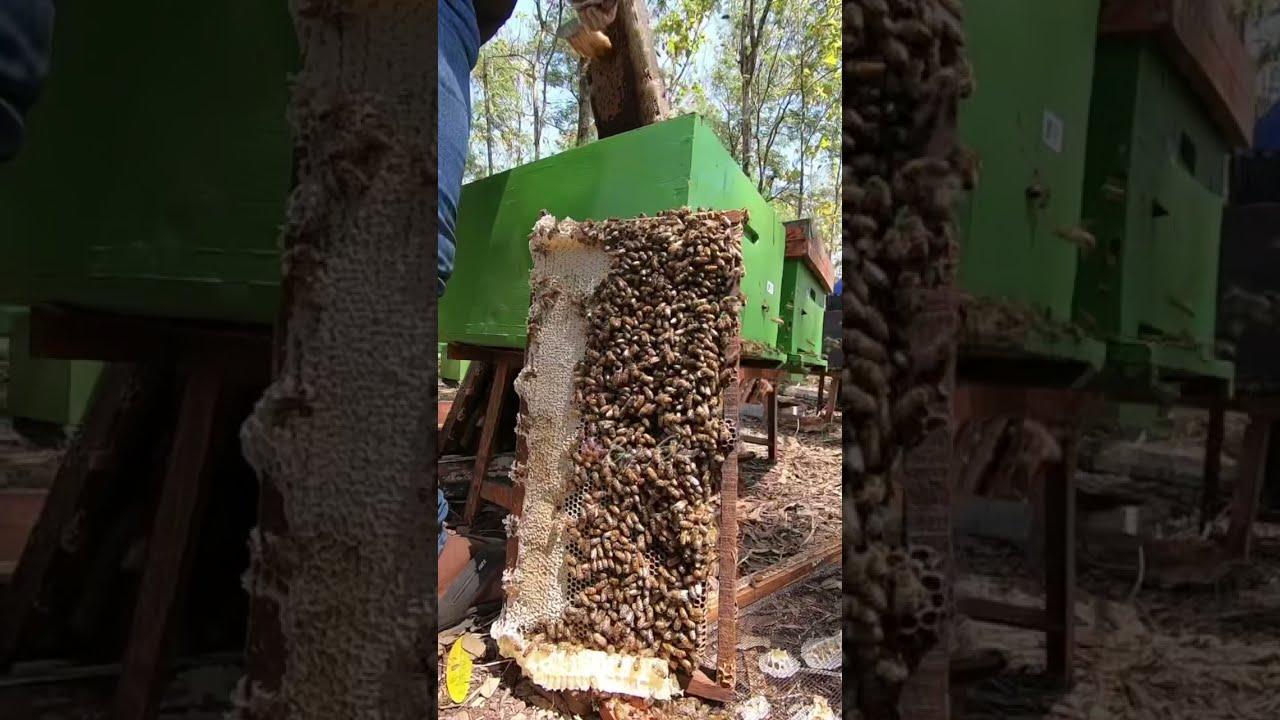 Makan Sarang Lebah | Asmr Sarang Madu | Honeycomb Asmr