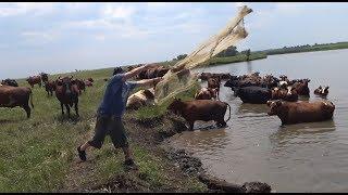 Забросы Кастинговой Сети под ЖОПЫ коров. Рыбалка Кастинговой сетью.