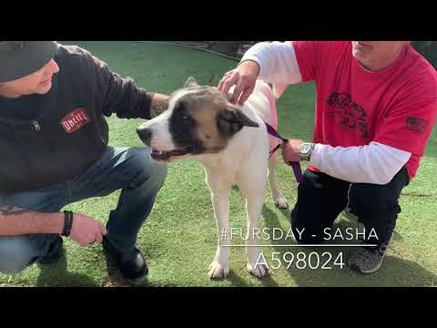 Dog & Joe Sho - #Fursday - Sasha - A598024