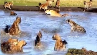 Amazing Powerful Lion vs Pack Of Hyenas Real Fight