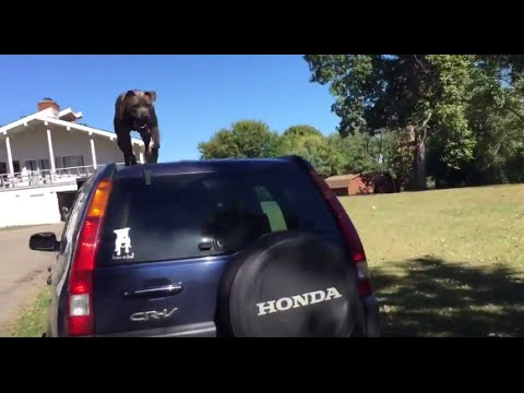 American Pit Bull Terrier Car Parkour Training - YouTube