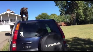Athena   American Pit Bull Terrier Parkour Training