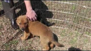 Rescued! Cheeto Golden Retriever Mix Puppy