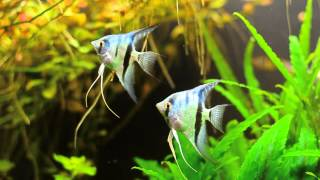 angelfish update 55 gallon planted tank six and a half months developed