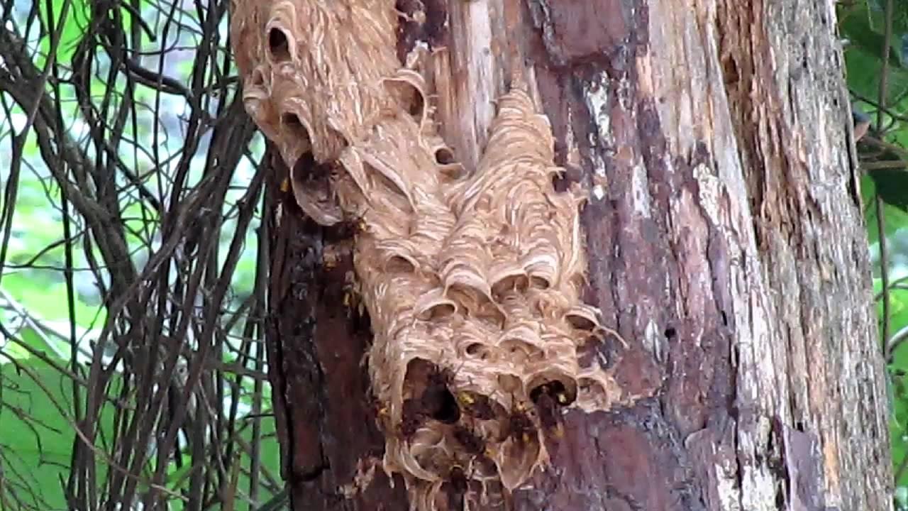 european hornets nest youtube