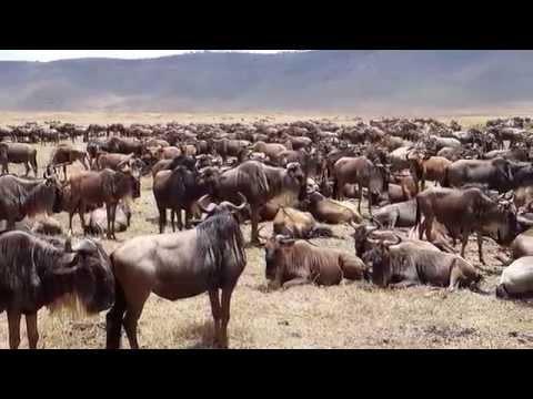 Gnus in theJourney Ngorongoro, Serengeti Manyara