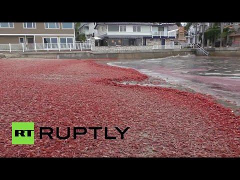 Miles de cangrejos llegan a la costa de California
