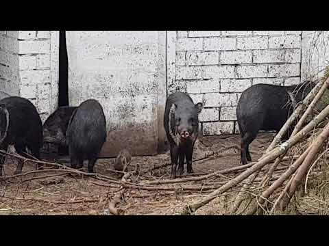 A group of collared peccary