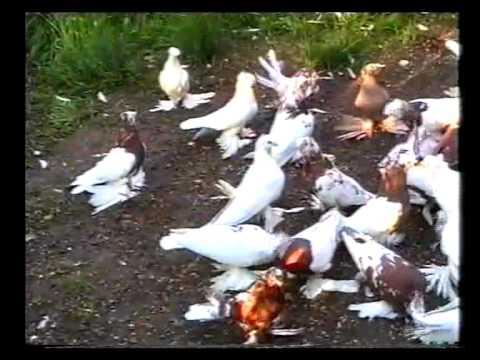 смотреть видео бойные голуби