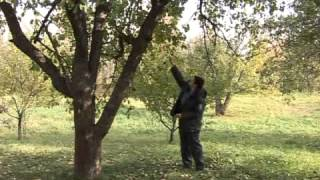 видео Почему засыхают яблони Черный рак яблони. Сайт