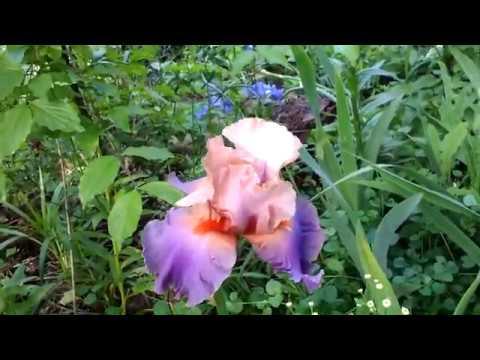 Мечта ленивого цветовода-розы Айс фо юEyes for you, Фламентанц, арункус и очень красивый ирис