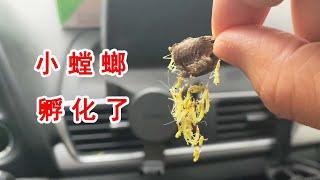 100隻小螳螂意外孵化!霸占了我的車子!還意外發現了桃紅頸天牛【歪點子實驗室】