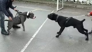 GREAT FIGHT IF THE AMERICAN BULLYING XL VS CANE CORSO COMES ACROSS!