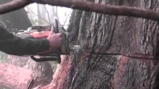 Giant Redwood Tree Bleeding/Crying While Being Cut Down