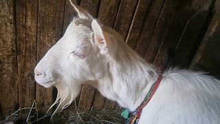 Коза заболела!!!
