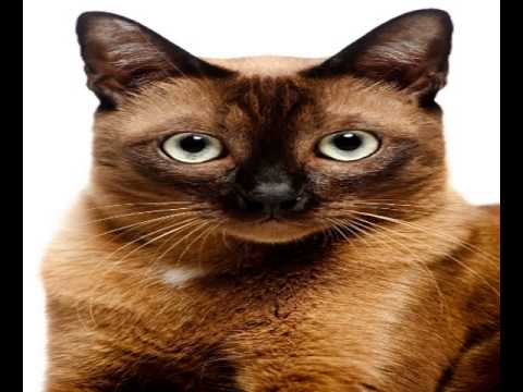 european burmese kittens for sale